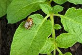pic of potato bug  - Colorado potato beetle on a green leaves - JPG