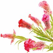 stock photo of celosia  - Red flower - JPG
