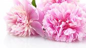 pink peonies flowers isolated on white