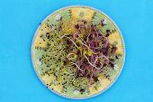 Alfalfa and leek sprouts on plate on blue background