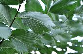 Leaves Of The Elm