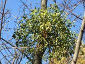 stock photo of mistletoe  - mistletoe on maple branch on blue sky background - JPG