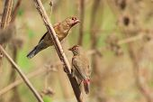 Young Male Red-billed Firefinches Starting To Turn Red