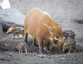 Visayan Warty Piglet with Mother in the Dirt.