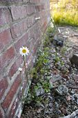 Daisy Against a Brick Wall