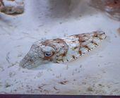 Stripped Cuttlefish