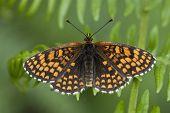 Heath Fritillary Butterfly, Melitaea Athalia