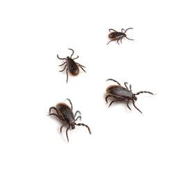 picture of ixodes  - Deer Ticks  - JPG