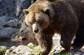 Big Grizzly Bear Walking