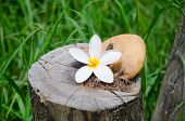 Flower Plumeria Or Frangipani With Stone On Tree Stump