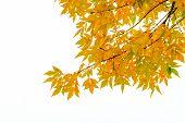 Yellow Ash Tree Leaves