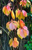 Viginia Creeper In Autumn