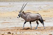 Oryx Walking In The Savannah
