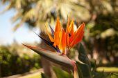 Bird Of Paradise bloem (Strelitzia Reginae)