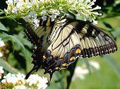 Upside-down Swallowtail Butterfly