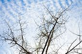 Detailed tree branches against sky with white clouds