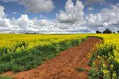 Growing Canola Fields