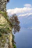 Tree on the rock face bordering Lake Garda on a snowy background of the Alps. Northern Italy
