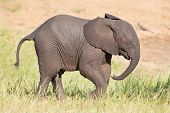 Small Elephant Calf Play In Long Green Grass And Having Lot Of Fun