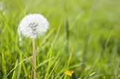 Dandelion On The Grass