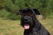 Happy Big Black Schnauzer Dog