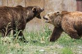 picture of domination  - two young adult grizzly bears playing aggressively establishing dominance - JPG