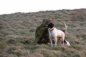 Springer Spaniel On The Moors