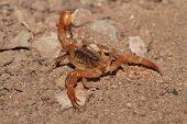 Yellow Ground Scorpion (vaejovis Confusus)