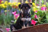 German Shepherd puppy in garden