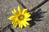 Beautiful Yellow Sunflower On A Stone Ground