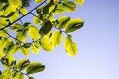 image of linden-tree  - Linden Tree Leaves In Sunlight in summer - JPG