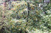 Rowan Tree In The Forest