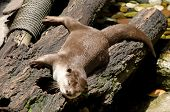 Smooth Coated Otter