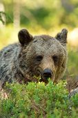 Brown Bear portrait Resting In Forest