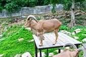 stock photo of billy goat  - Goat in zoo Thailand - JPG