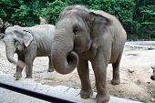 image of an Asian Elephant - Elephas maximus