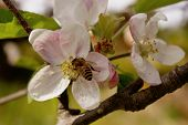 Honey Bee On Spring Blossom Peach Flower