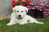 pic of swiss shepherd dog  - Beautiful puppy of White Swiss Shepherd Dog lying in the garden - JPG