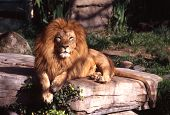 image of f4  - This male African Lion was photographed with a F4 with Kodak E200 film - JPG