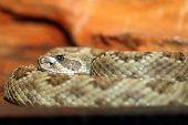 Crotalus Viridis Closeup