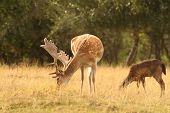 picture of bambi  - fallow deer stag  - JPG