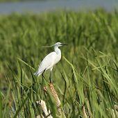 Little Egret On Reeds