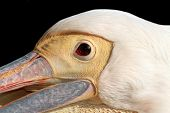 Portrait Of A Great Pelican Over Dark Background