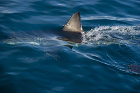 pic of fin  - The fin of a great white shark cuts through the water Gansbaai South Africa - JPG