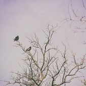 Two crows on a tree