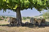 Bulgarian Sheep Sheltering In The Shade Under The Branches Of A Tree