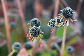 picture of black-eyed susans  - A close up of a frozen wilted black eyed susan flower in the fall without any petals - JPG