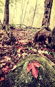 picture of canada maple leaf  - A single red maple leaf sits a top a moss and lichen covered rock in a forest with fall leaves covering the ground during the autumn season - JPG