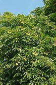 Crown Top Of Chestnut Tree