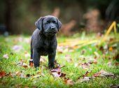 Pure Bred Black Labrador Retriever Puppy